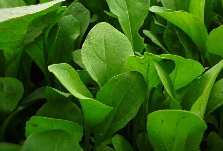 Rucola: la pianta afrodisiaca considerata sacra
